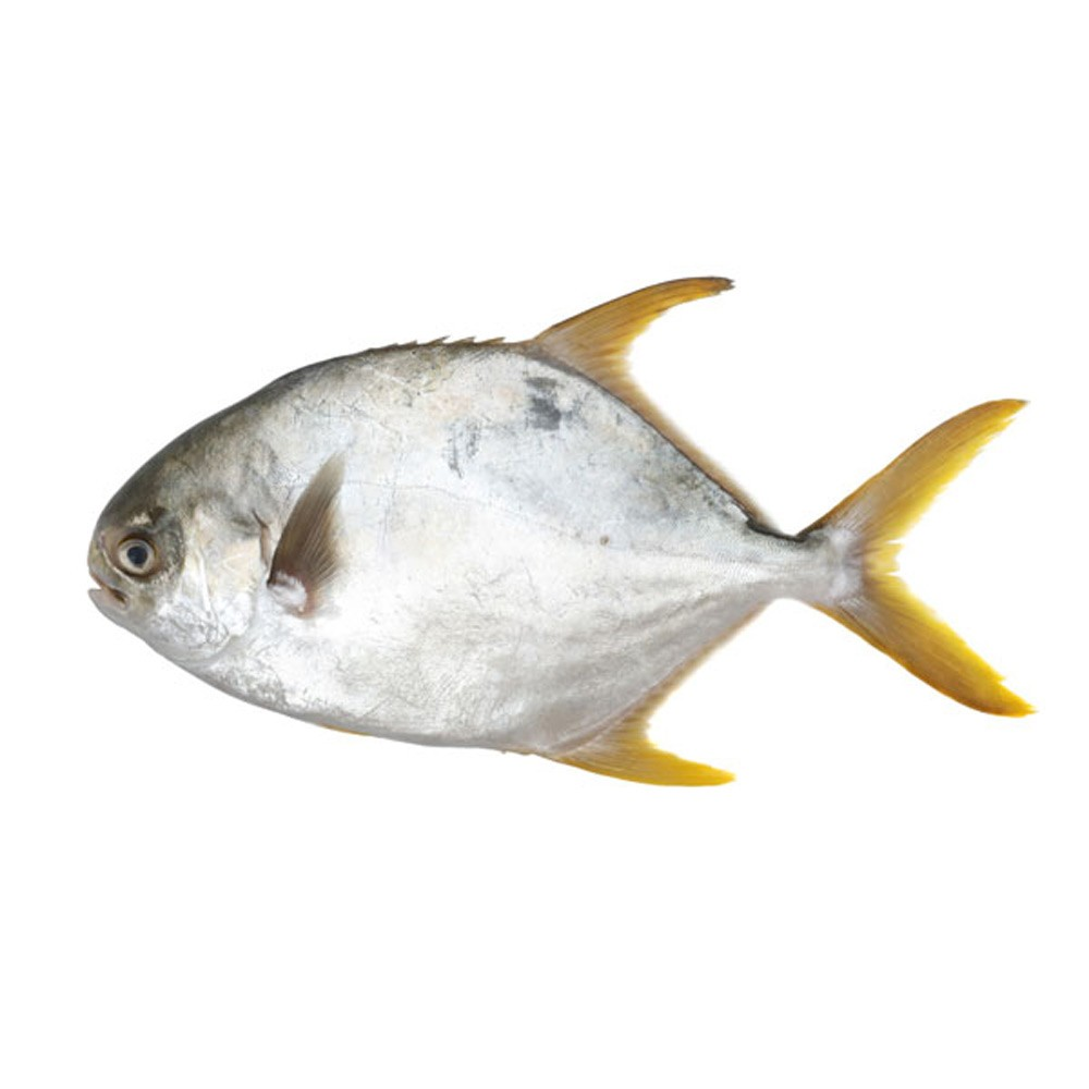 Golden Pomfret