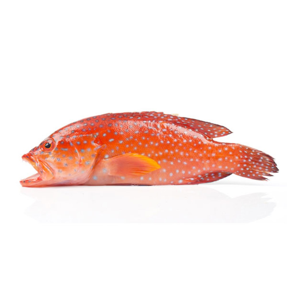 Red Grouper Large